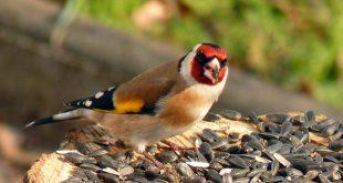 صور معلومات عن طائر الحسون , من اجمل الطيور على وجه الارض