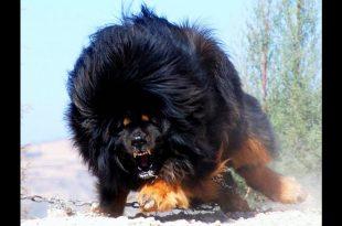 صورة اغلى كلاب العالم , اسعار باهظة لبعض انواع الكلاب