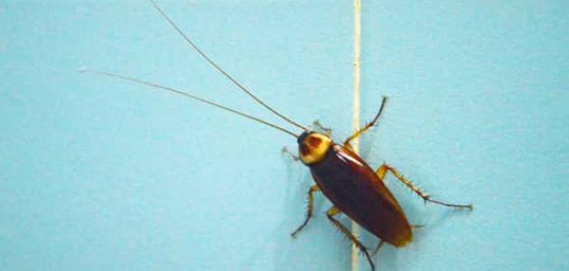 صورة طرق مكافحة الحشرات المنزلية , تخلصي من الصراصير للابد 2757 2