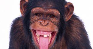 صورة صور قرد مضحك , هتموووت من الضحك علي القرود دي