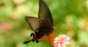 صور تفسير حلم الفراشة السوداء , التفسير السئ لرؤية الفراشة السوداء في الحلم