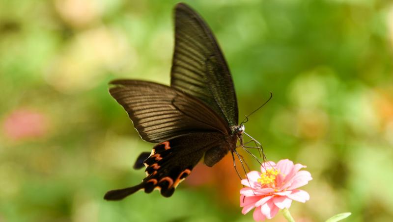 صورة تفسير حلم الفراشة السوداء , التفسير السئ لرؤية الفراشة السوداء في الحلم