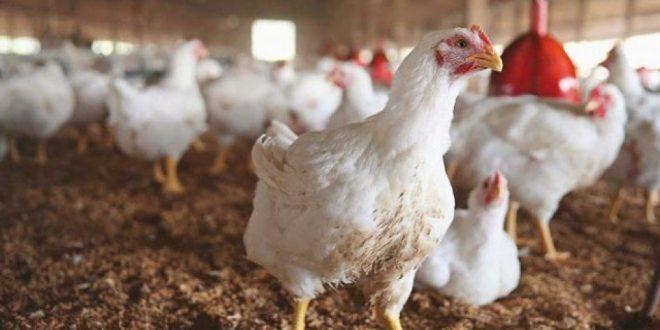 صورة علاج الاسهال الابيض عند الدواجن , احسن طريقة تعالج بيها امراض الدجاج