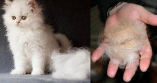 صورة اسباب تساقط شعر القطط , اعرف مشكلة شعر قططتك قبل حدوث اي مشكله لها