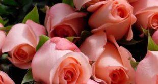 صور ورود طبيعية , الورد وطبيعته الجذابة