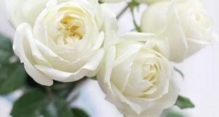 صورة صور ورود بيضاء , اجمل لمسات الورود البيضاء