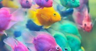 صورة اجمل اسماك الزينة , افضل انواع السمك الزينة