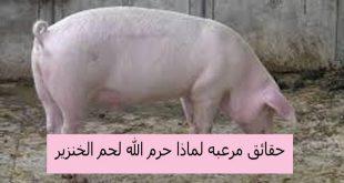صورة لماذا حرم اكل الخنزير , ما سبب حرمانية اكل لحم الخنزير