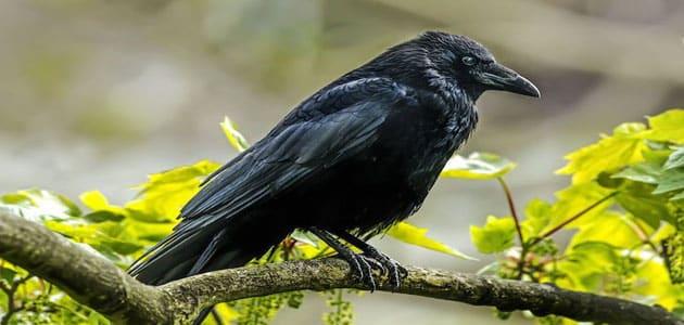 صورة احذر من اذكى الطيور فى منامك , الغراب في المنام